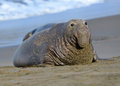 Scarred adult elephant seal on beach big sur california Royalty Free Stock Images