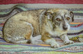 Scarred little dog sitting on a rustic carpet Royalty Free Stock Images
