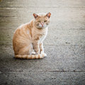 Scarred and neglected stray feral male ginger cat on street thin tabby tomcat from fighting sitting the Royalty Free Stock Image