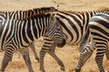 Scarred Old Zebra Stock Photography