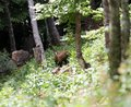 Scary chamois in the middle of the forest in summer Stock Images