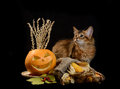Scary halloween pumpkin and somali kitten jack o lantern on black background Royalty Free Stock Photography