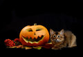 Scary halloween pumpkin and somali kitten jack o lantern on black background Royalty Free Stock Photo