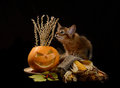 Scary halloween pumpkin and somali kitten jack o lantern on black background Stock Photo