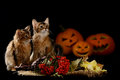 Scary halloween pumpkin and two somali kittens jack o lantern on black background Royalty Free Stock Photo