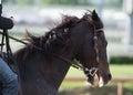 Scary Horse Profile with Jockey Royalty Free Stock Photo