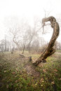 Scary photo of a tree in fogy wood Stock Images