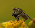 Scatophaga stercoraria fly has caught a prey yellow dung close up on on yellow flower Stock Photo