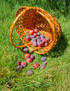 Scattered plums and basket Stock Image