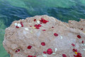 Scattered rose petals on a rock at the waters edge Stock Photos