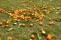 Scattered tangerines on green grass Stock Photos