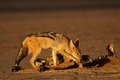 Scavenging black-backed Jackal Royalty Free Stock Photography
