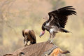 Scavenging vultures Royalty Free Stock Photo