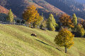 Scenic autumn landscape with cow grazing on a pasture. Royalty Free Stock Photo