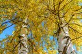 Scenic golden autumn sunny day countryside background of two trunks of yellow birch tree and blue sky Royalty Free Stock Photo