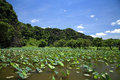 Scenic landscape of lotus pond against blue sky Royalty Free Stock Photo