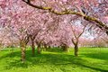 Scenic park with blossoming trees rows of cherry in spring on a fresh green lawn shot on a nice sunny day Royalty Free Stock Photos