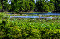 A scenic spring or summertime lake view with lush aquatic plants summer of acre yellow lotus water lilies at brazos bend texas Royalty Free Stock Photography