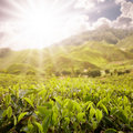 Scenic of tea farm Royalty Free Stock Photo