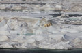 Scenic view of arctic ice floe with polar mother bear and two cu cubs Stock Images