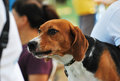 Scent hound dog a photo taken on a looking at an object of interest Royalty Free Stock Images