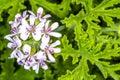 Scented Leaved Pelargonium Royalty Free Stock Photo