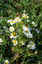 Scented mayweed in flower matricaria recutita flowering an arable field Stock Images
