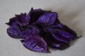 Scented seeds photo with beautiful mauve Stock Photography