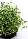 Scented thyme Royalty Free Stock Photo