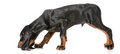 Scenting dog hunting black and tan coonhound sniffing the ground on white background Royalty Free Stock Photos