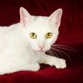 Schöne weiße cat kitten auf roter samt couch Stockbilder