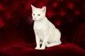 Schöne weiße cat kitten die auf roter samt couch aufwirft Stockfotos