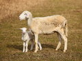 Scheep with lamb a sheared mother sheep its new born on a farm in australia Stock Images