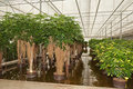 Schefflera plants in a hydroculture nursery Royalty Free Stock Photo