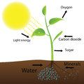 Scheme of photosynthesis vector illustration Stock Images