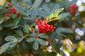 Schinus terebinthifolius brazilian pepper aroeira rose pepper fruits berry of christmasberry tree selective focus on berry natural Stock Photo