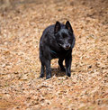 Schipperke happy old dog walking on a forest trail Royalty Free Stock Photos