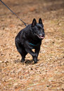 Schipperke happy old dog walking on a forest trail on leash and harness Stock Photography
