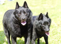 Schipperkes two young healthy beautiful black schipperke dogs walking on the grass looking happy and playful the spitzke has small Royalty Free Stock Photography