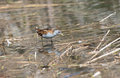 Schiribilla little crake hunt in the swamp Stock Photography