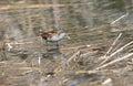 Schiribilla little crake hunt in the swamp Stock Photography