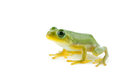 Schlegel's green tree frog Stock Image