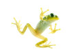 Schlegel's green tree frog Stock Photography