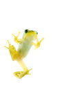 Schlegel's green tree frog Royalty Free Stock Photography