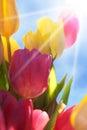 Schließen sie oben von tulip flower meadow with blue himmel und sun Stockbild