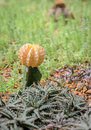 Schlie�en sie oben von gelbem chin kaktus Lizenzfreie Stockfotos
