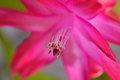 Schlumbergera flower chirstmas cactus close up Stock Images