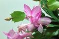 Schlumbergera flower of christmas cactus Stock Image