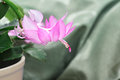 Schlumbergera flower of christmas cactus Stock Image