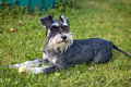 Schnauzer Royalty Free Stock Photo